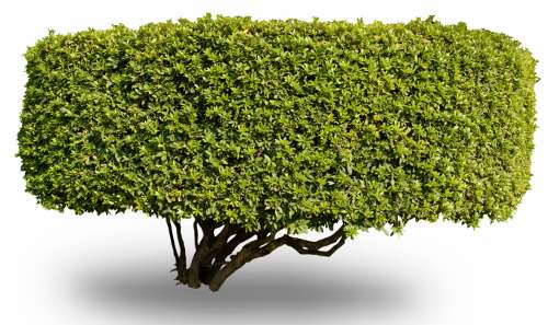 The shrub that I need to msk and shape into a brain. istockphoto